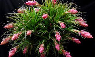 空气凤梨的简易种植养护
