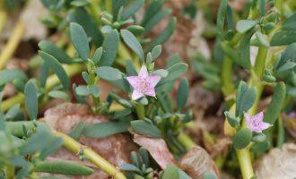 番杏科(Aizoaceae)分类检索