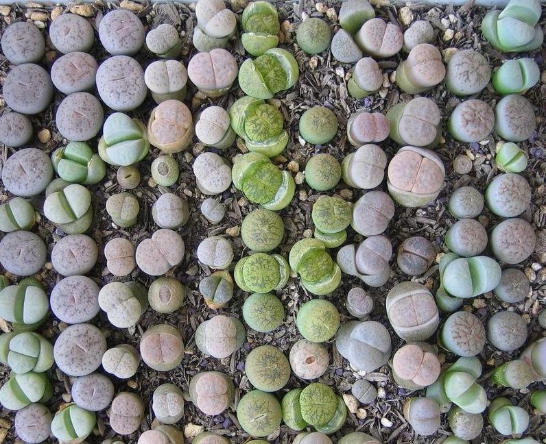 生石花播种成果