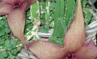 如何促进大花犀角开花