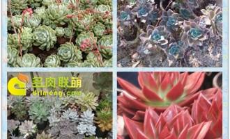 拟石莲花属的种植养护及繁殖