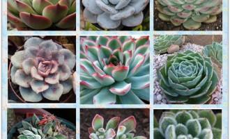 拟石莲花属的简介及种植养护