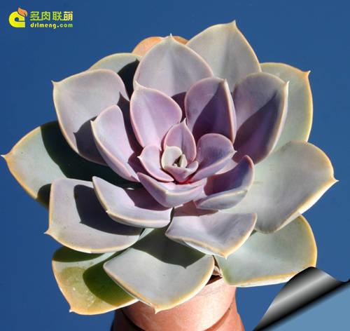 紫珍珠叶片可呈现多个颜色