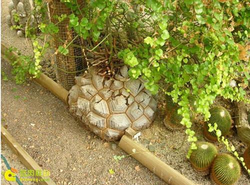 薯蓣科冬型种多肉植物南非龟甲龙