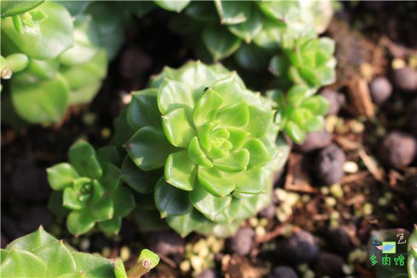 5月份的多肉植物 (10)