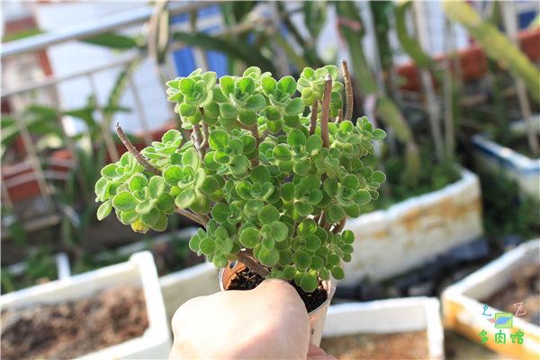 5月份的多肉植物 (13)