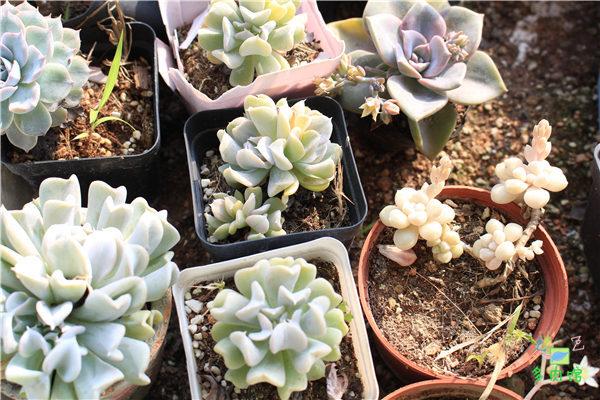 5月份的多肉植物 (24)