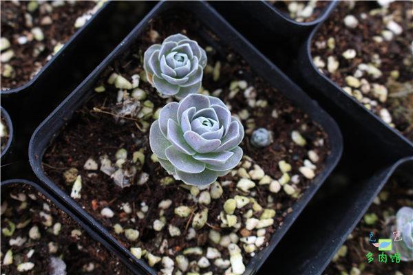 5月份的多肉植物 (3)