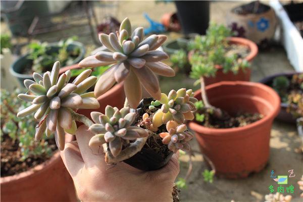 5月份的多肉植物 (9)