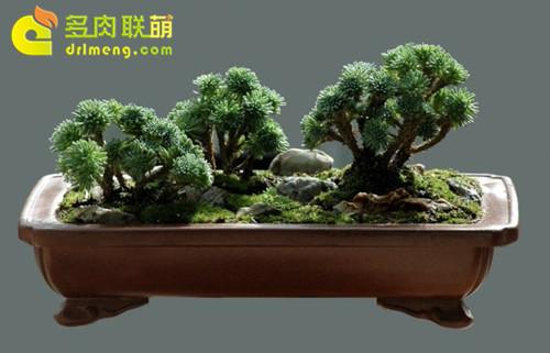 植物松盆栽盆景-球松 小松绿 盆景造型图片 多肉联萌