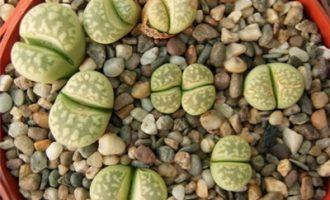 茧形玉系,大理石纹的生石花