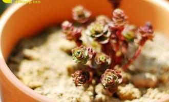 芳龄永维的小球玫瑰
