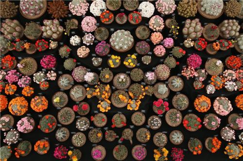 镇楼图,2014切尔西花卉展展出的仙人掌
