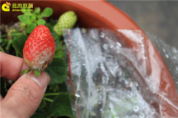 我心痛的草莓