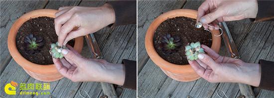 多肉植物插穗装饰后,还可以重新种植