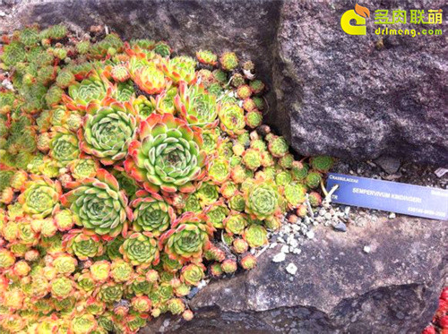 UBC植物园里的长生草系列图片之10