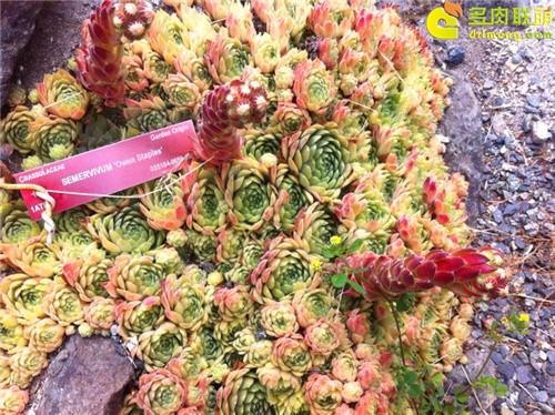 UBC植物园里的长生草系列图片之11