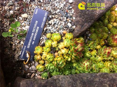 UBC植物园里的长生草系列图片之12