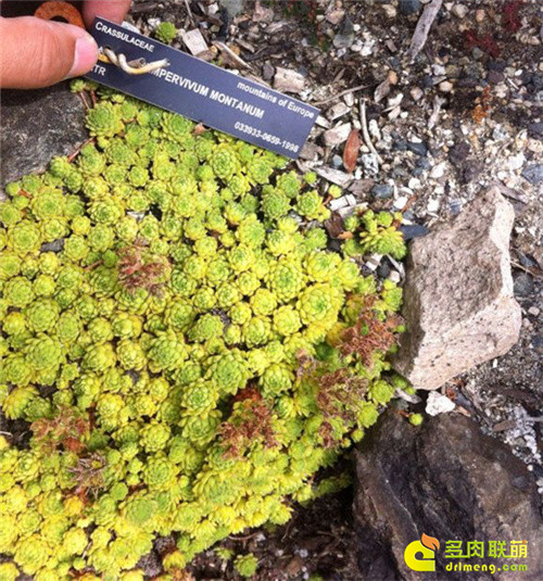 UBC植物园里的长生草系列图片之13
