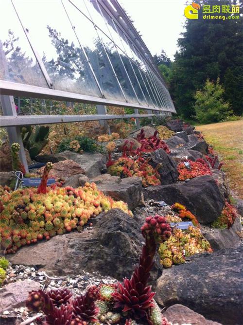 UBC植物园里的长生草系列图片之15