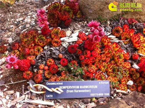 UBC植物园里的长生草系列图片之3