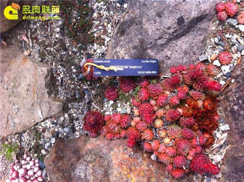 UBC植物园里的长生草系列图片之4