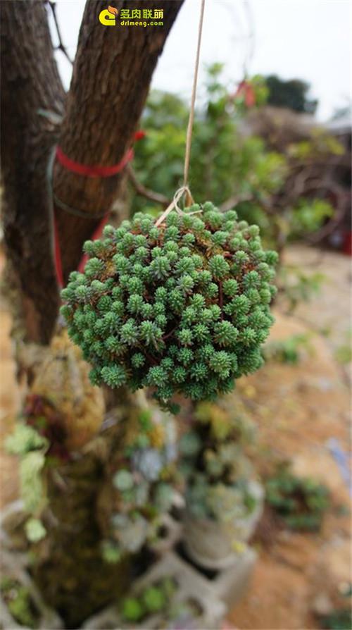 广州多肉植物大棚系列图片欣赏之9