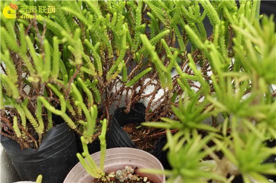 多肉植物夏天的浇水 (2)