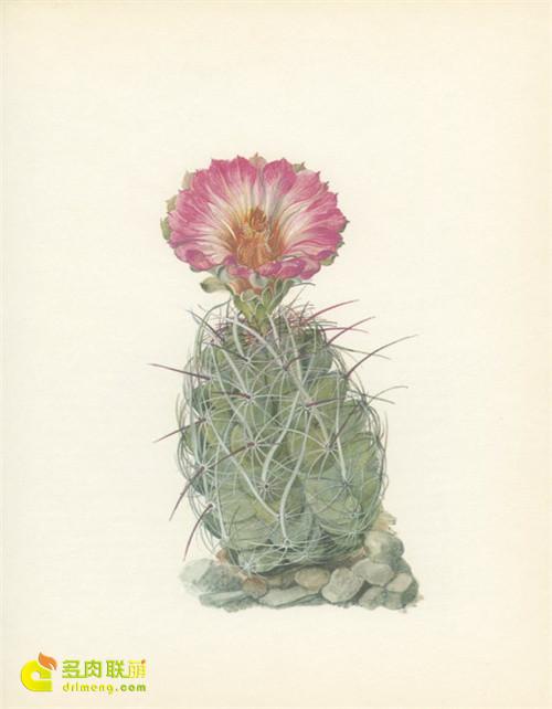 仙人掌水彩画系列图片之15