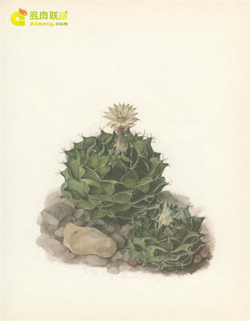 仙人掌水彩画系列图片之16
