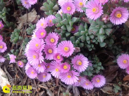 白凤菊开花