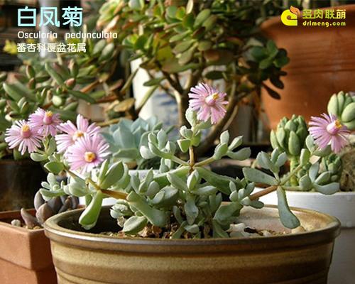 开花迷人的白凤菊 Oscularia pedunculata -1