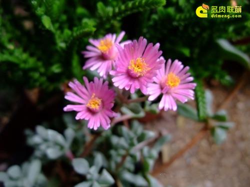 开花迷人的白凤菊 Oscularia pedunculata 2