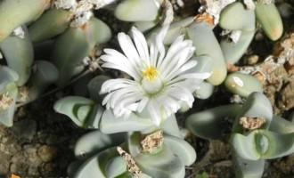 鹿角海棠,熏波菊