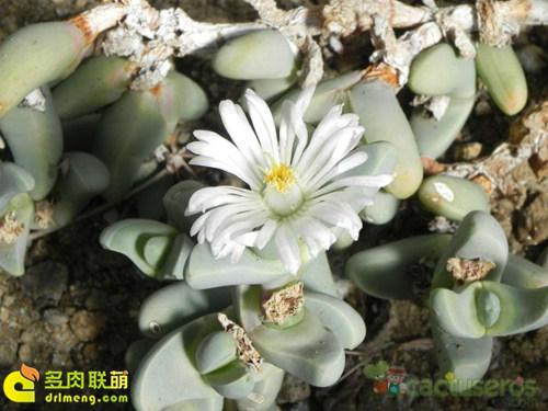 开花的鹿角海棠