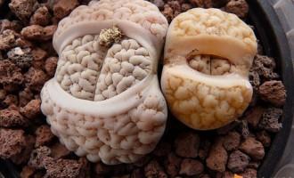 关于生石花的翻盆修根