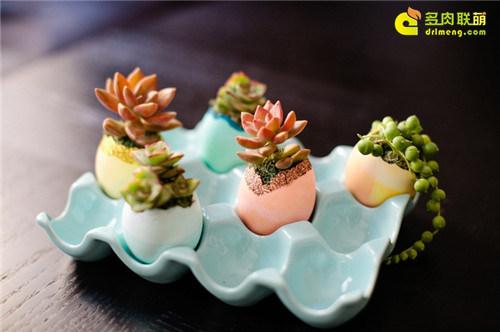 蛋壳里的多肉植物