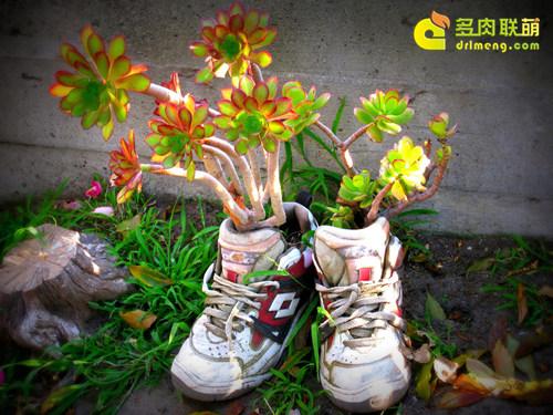 鞋子里的多肉植物