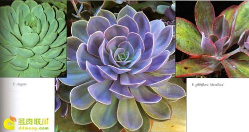 拟石莲花属紫珍珠是杂交培育而来的
