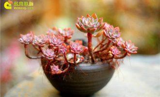 多肉植物茎干发红有事吗?