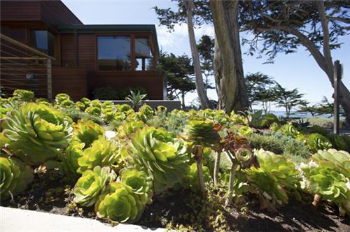 加州路边的莲花掌属类多肉植物-1