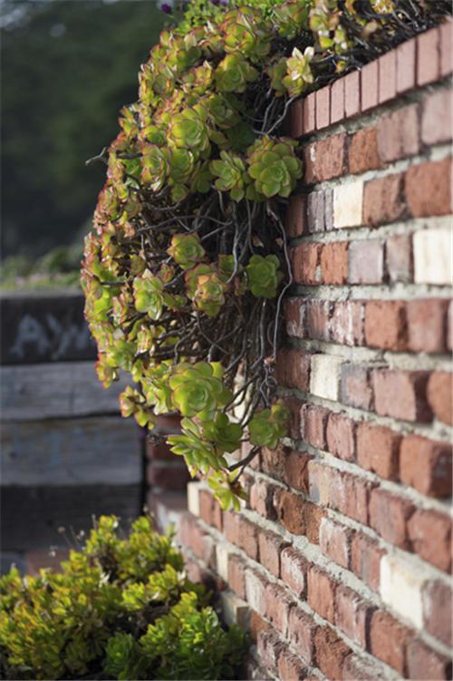 加州路边的莲花掌属类多肉植物-2