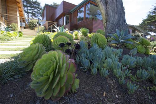 加州路边的莲花掌属类多肉植物-4