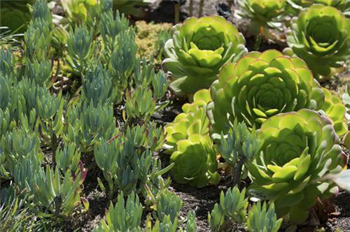 加州路边的莲花掌属类多肉植物-5