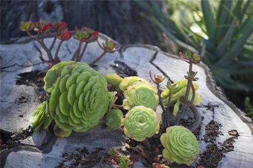 加州路边的莲花掌属类多肉植物-9