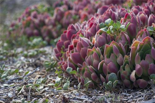加州路上的多肉植物-5
