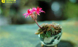 开花的韩国多肉植物