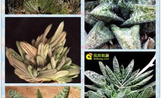 芦荟科多肉植物的栽培指南
