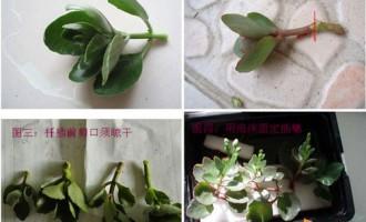 长寿花的扦插水培繁殖法