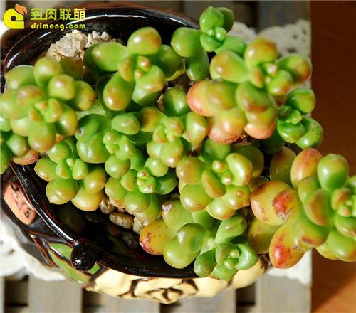 叶片肥圆绿的丸叶松绿-2